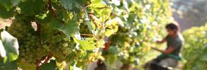 Vineyard and Grapes