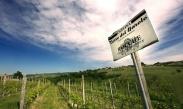 vineyard rocche